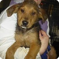 Shepherd (Unknown Type)/Labrador Retriever Mix Puppy for adoption in Glastonbury, Connecticut - lab/shepard pups