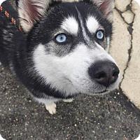 Adopt A Pet :: Sitka - Matawan, NJ