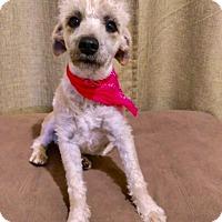 Adopt A Pet :: CHELSEA - Santa Monica, CA