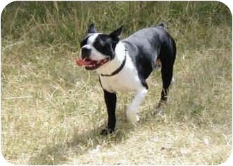 Boston Terrier Dog for adoption in Riverside, California - Gizmo
