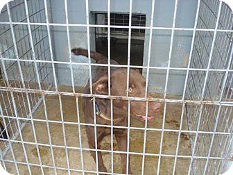Labrador Retriever Mix Dog for adoption in Windsor, Missouri - Kyan