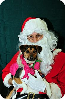 Jack Russell Terrier/Beagle Mix Dog for adoption in Youngstown, Ohio - Mimi ~ Adoption Pending