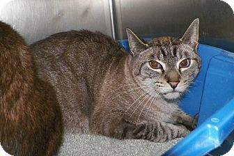 Siamese Cat for adoption in Dover, Ohio - Simon