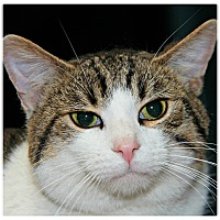Domestic Shorthair Cat for adoption in Forked River, New Jersey - Darius