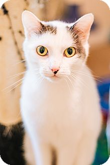 Domestic Shorthair Cat for adoption in Cedar Springs, Michigan - Precious