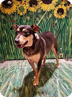 Doberman Pinscher/Terrier (Unknown Type, Medium) Mix Dog for adoption in West Babylon, New York - Quilliam