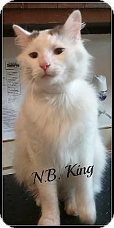 Domestic Longhair Cat for adoption in Muskegon, Michigan - N.B. King
