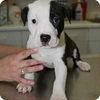 Adopt A Pet :: A Rose Puppy 1 - Pompano Beach, FL