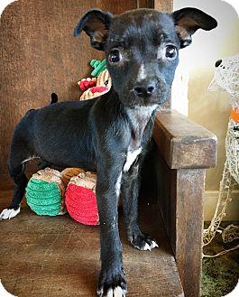 Chihuahua Mix Puppy for adoption in Fredericksburg, Texas - Zinnia