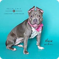 Pit Bull Terrier/French Bulldog Mix Dog for adoption in Houston, Texas - Masie
