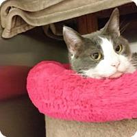 Adopt A Pet :: Miss Marple (adoption pending) - Richmond, VA