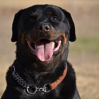 Rottweiler Dog for adoption in Dallas, Texas - Hoover