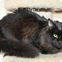 Domestic Longhair Kitten for adoption in Santa Rosa, California - Vivianne