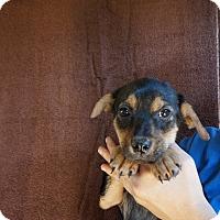 Adopt A Pet :: Holly - Oviedo, FL