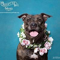 Adopt A Pet :: Miss Mozz - Phoenix, AZ
