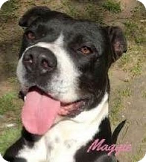 Pit Bull Terrier Mix Dog for adoption in Memphis, Tennessee - Maggie