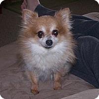 Adopt A Pet :: Tribble (Tekoa) - Chewelah, WA