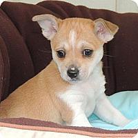 Adopt A Pet :: Romi - La Habra Heights, CA