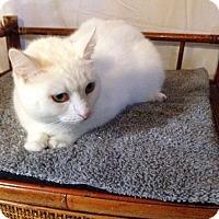 Adopt A Pet :: Cotton - Simpsonville, SC