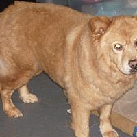 Chow Chow Mix Dog for adoption in Dothan, Alabama - Nikki