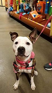 American Staffordshire Terrier/American Pit Bull Terrier Mix Dog for adoption in Colonial Heights, Virginia - London