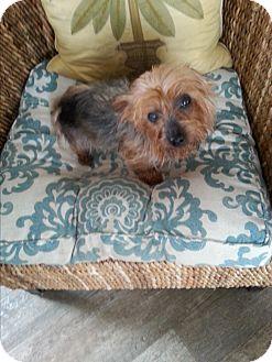 Yorkie, Yorkshire Terrier Dog for adoption in Dothan, Alabama - Trixie