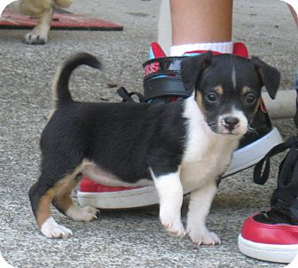 Chihuahua/Terrier (Unknown Type, Small) Mix Puppy for adoption in Tumwater, Washington - Dolly