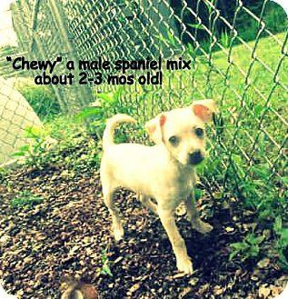 Cocker Spaniel Mix Puppy for adoption in Gadsden, Alabama - Chewy