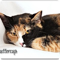 Domestic Shorthair Cat for adoption in Atlanta, Georgia - Buttercup