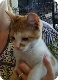 Domestic Shorthair Kitten for adoption in Williamston, North Carolina - Blanche