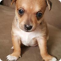 Adopt A Pet :: Bella Rose - Gilbert, AZ
