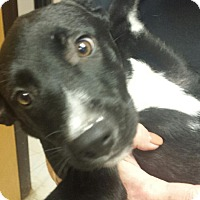 Adopt A Pet :: Samantha - Groton, MA