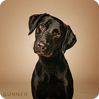 Labrador Retriever Mix Dog for adoption in Houston, Texas - Gunner
