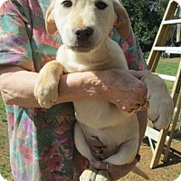 Adopt A Pet :: AMBER - Lincolndale, NY