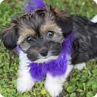 Adopt A Pet :: Addie - Denver, CO