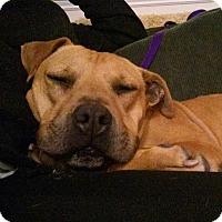 Adopt A Pet :: Felise - Raleigh, NC