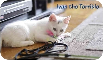 Domestic Shorthair Kitten for adoption in New York, New York - Snowball