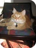 Maine Coon Cat for adoption in Arlington, Virginia - Alex