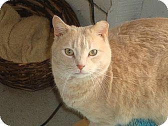 Domestic Shorthair Cat for adoption in Harrisburg, Pennsylvania - SHIMMER