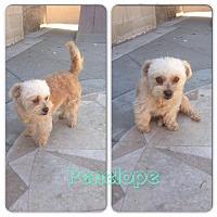 Adopt A Pet :: Penelope - Huntington Beach, CA