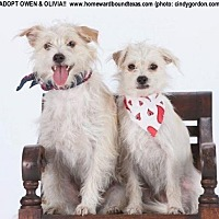 Terrier (Unknown Type, Small) Mix Dog for adoption in Southlake, Texas - Owen