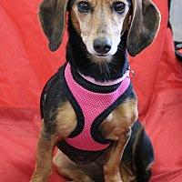 Adopt A Pet :: Daisey Mae - Henderson, NV
