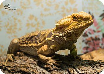 Lizard for adoption in Manhattan, Kansas - Speedy