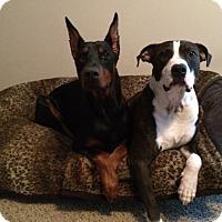 Adopt A Pet :: Ozzy - Greenville, SC