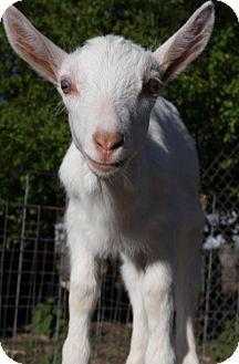Goat for adoption in Maple Valley, Washington - Pip