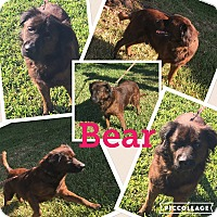 Adopt A Pet :: Bear - hollywood, FL