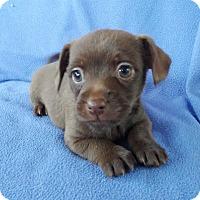 Adopt A Pet :: Chip - Lawrenceville, GA