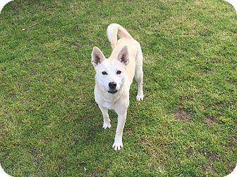 Jindo/Shiba Inu Mix Dog for adoption in Sherman Oaks, California - KONA