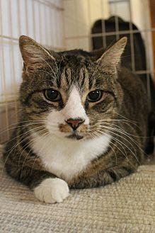Domestic Shorthair Cat for adoption in Richand, New York - Rhett