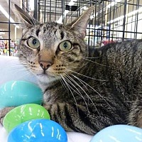 Domestic Shorthair Cat for adoption in League City, Texas - Meownt Everest